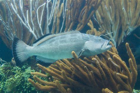 grouper fish wikipedia mycteroperca haiti happening phylum conservation status bonaci