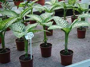 Zimmerpflanze Große Blätter : pflanzen f rs b ro dieffenbachie ~ Lizthompson.info Haus und Dekorationen