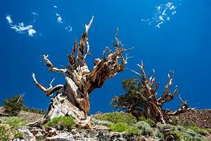 What Is the Oldest Tree in the World | Worlds Oldest Tree