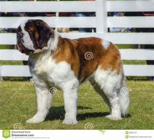 royalty free stock photography st bernard dog profile view big beautiful brown white saint standing lawn dogs well known their image