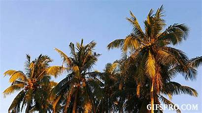 Coconut Palm Trees Camiguin Animated