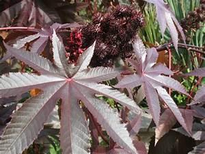Zimmerpflanze Mit Roten Blättern : 18 gartenstr ucher mit roten bl ttern f r sch ne gartengestaltung ~ Eleganceandgraceweddings.com Haus und Dekorationen