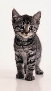Beautiful Grey Tabby Kitten | Cute! | Pinterest