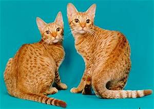Image Gallery ocicat colors