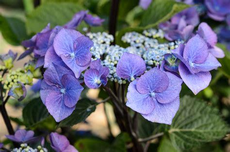 pruning lacecap hydrangeas tips for pruning hydrangeas gardenersworld com