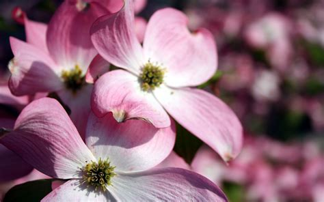 pink flowers wallpapers hd wallpapers id