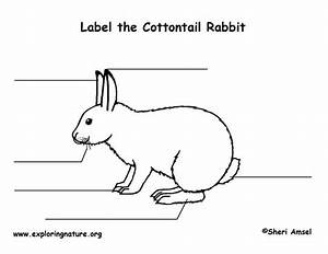 rabbit cottontail labeling page With rabbitdiagram