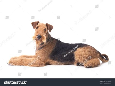 100 airedale terrier small dogs most popular