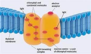 Is Photosynthesis Quantum