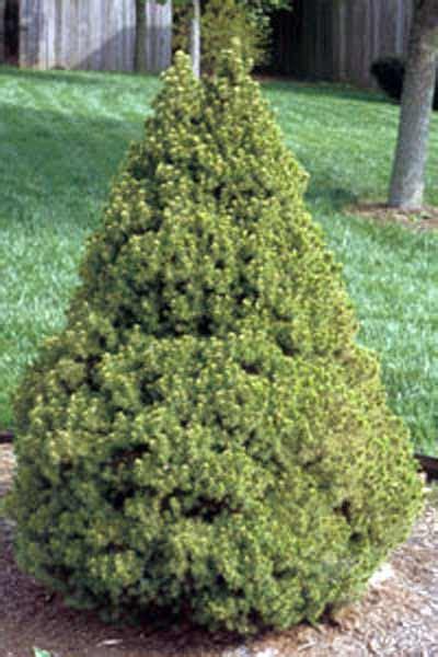 alberta spruce dwarf alberta spruce tree expert tree advice