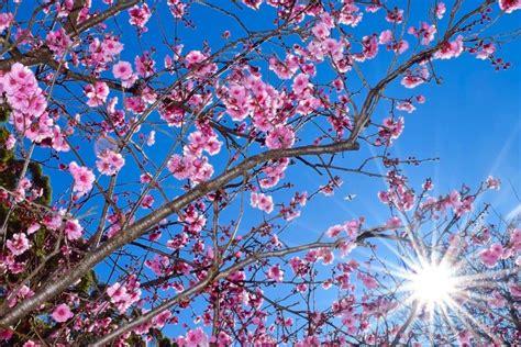 cherry blossom desktop wallpaper wallpapertag
