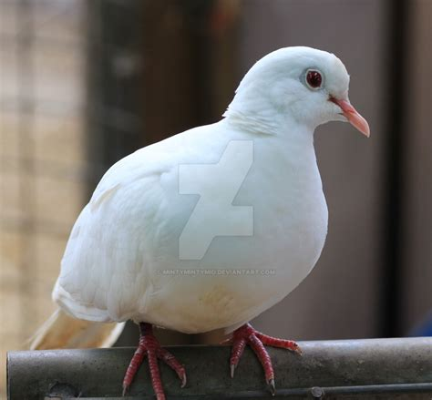 white ringneck dove by mintymintymid on deviantart