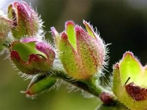 Pflanzen Bestimmen Nach Bildern : luontoportti kasvit ~ Eleganceandgraceweddings.com Haus und Dekorationen