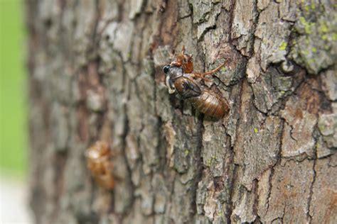 Cicada Shedding Its Exoskeleton by 13 Year Cicadas Are Here The Gateway Gardener