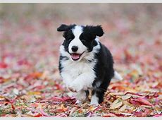 Little Friends Photo Border Collie Puppies looking