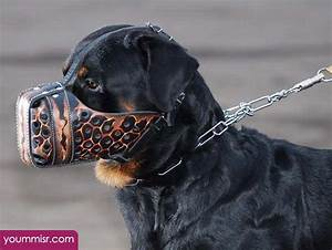 Top 10 most dangerous dog attack breeds youm misr see you for Rottweiler dangerous dog