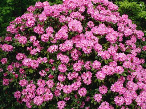 large pink flowering bush azalea bush good for shaded areas google image result for http www mymountaingarden com wp