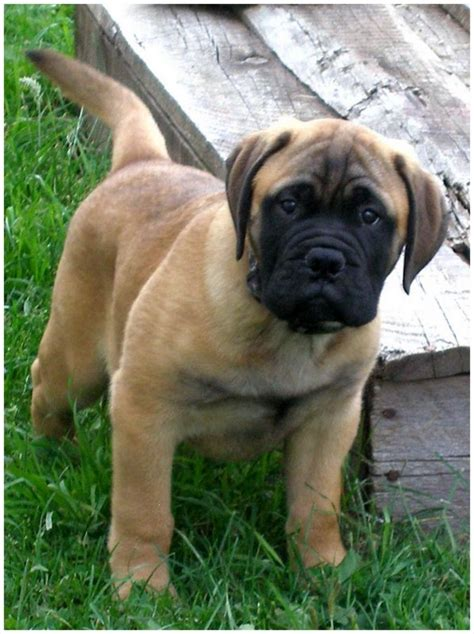 do bullmastiff dogs shed a lot bullmastiff puppies rescue breeders pictures