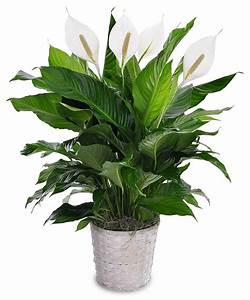 Peace Lily Cincinnati (OH) Same-day Delivery