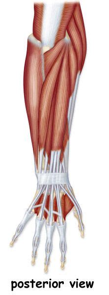 Read this article for an overview of all the leg muscles. 117 best images about muscular anatomy on Pinterest ...