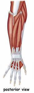 117 Best Images About Muscular Anatomy On Pinterest
