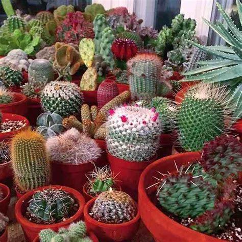 jenis kaktus hias mini tanaman rumah jagadid