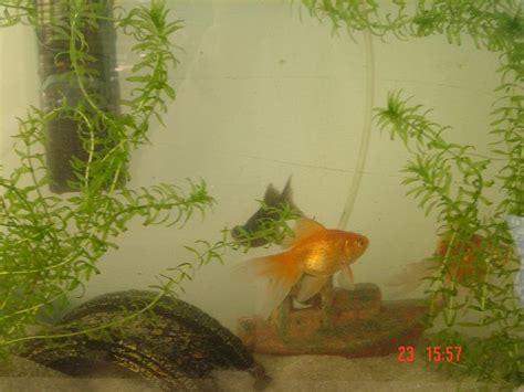 mon aquarium de poissons d eau froide