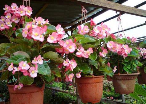 merawat bunga begonia  pot gantung botanikucom
