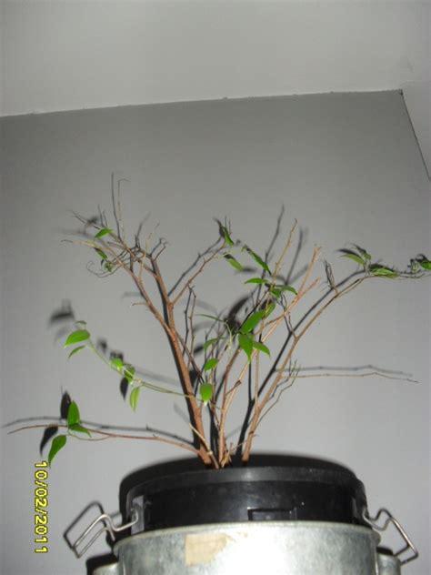 olivier en pot perd ses feuilles 28 images olivier en pot perd ses feuilles 28 images mon