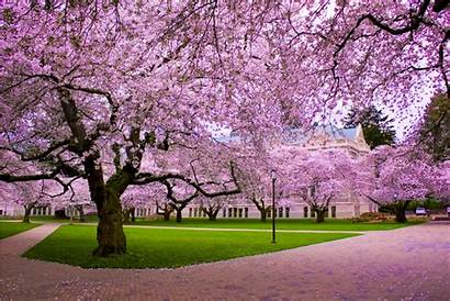 Blossom Cherry Desktop Wallpapers Blossoms Tree Background