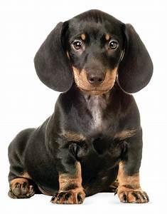 Mietwohnung Mit Hund : kek amsterdam wandtattoo hund 39 dackel 39 schwarz 23cm bei ~ Lizthompson.info Haus und Dekorationen