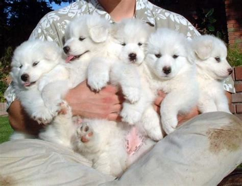 They Come In Bouquets Fur Babies And Friends Pyrenees