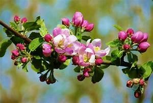 Apfelbaum Schneiden Sommer : apfelbaum pflanzen pflege sorten ~ Lizthompson.info Haus und Dekorationen