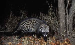 African Civet | Animal Wildlife