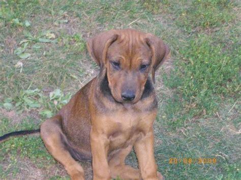 rhodesian ridgeback welpen aus familienaufzucht hunde