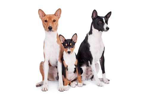 basenji dogs breed information omlet