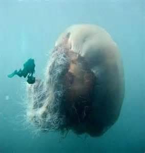 ubur ubur terbesar  dunia beritauniknet