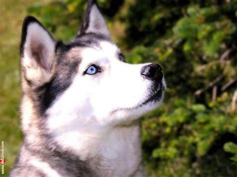 nice siberian husky dog photo  wallpaper beautiful