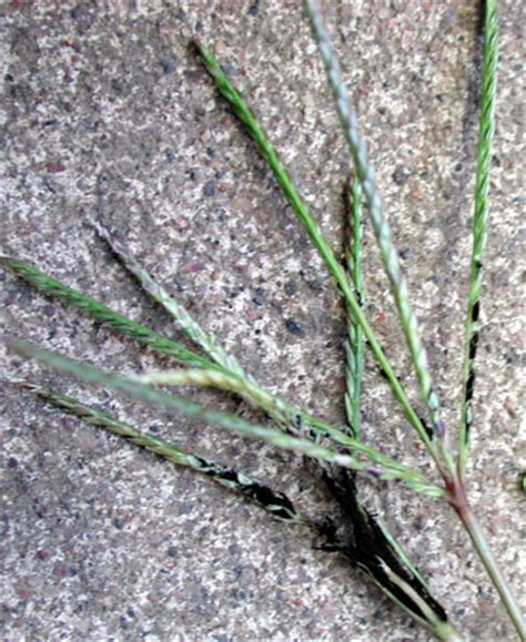 lawn grass scientific name family tree and turf care 174 weed control bermudagrass