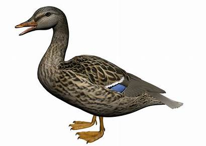 Duck Clipart Resolution Clip Female Transparent Graphics