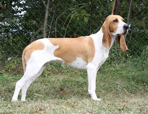 hound swiss coonhound walker treeing anglo span expectancy francais dog cur worldlifeexpectancy