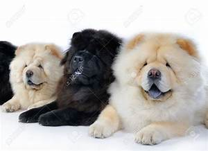 Black And White Chow Chow Puppies   www.imgkid.com - The ...