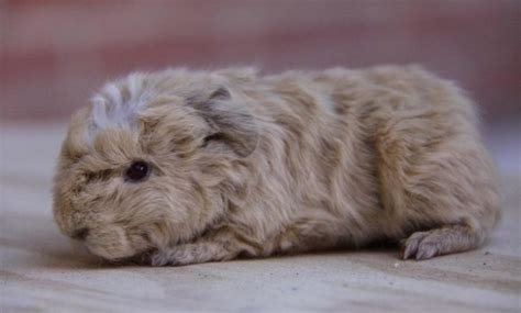 √ 14 Different Types Of Guinea Pig Breeds