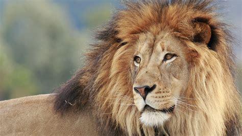 male lions  manes mental floss