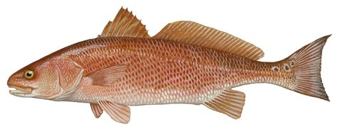 fish indian river florida lagoon wildlife mosquito service drum duane raver species north fishing