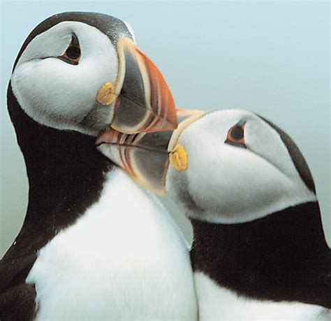 real live puffin news puffin foundation west ltd