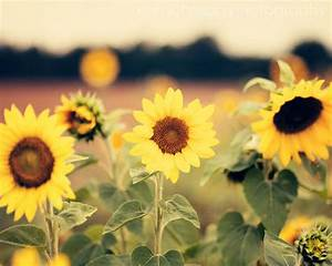 landscape sunflower photography yellow home decor rustic