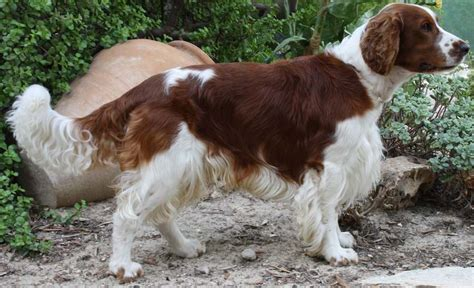 field springer spaniel shedding sporting dogs list of all sporting breeds k9