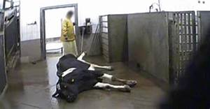 Envie De Vomir : une cam ra cach e montre des vaches malades conduites malgr tout l 39 abattoir ~ Medecine-chirurgie-esthetiques.com Avis de Voitures
