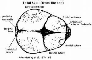 Jordan  Human Birth  U0026 Bipedalism